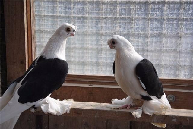Узбекские бойные голуби: фото, описание, породы