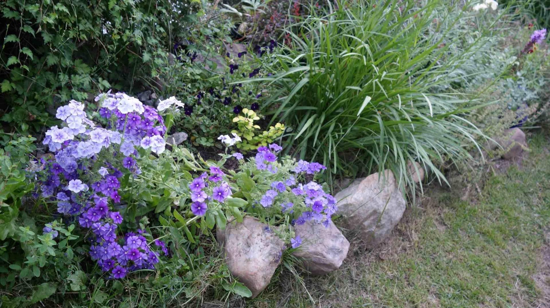 Флокс друммонда - особенности ухода, советы по выращиванию