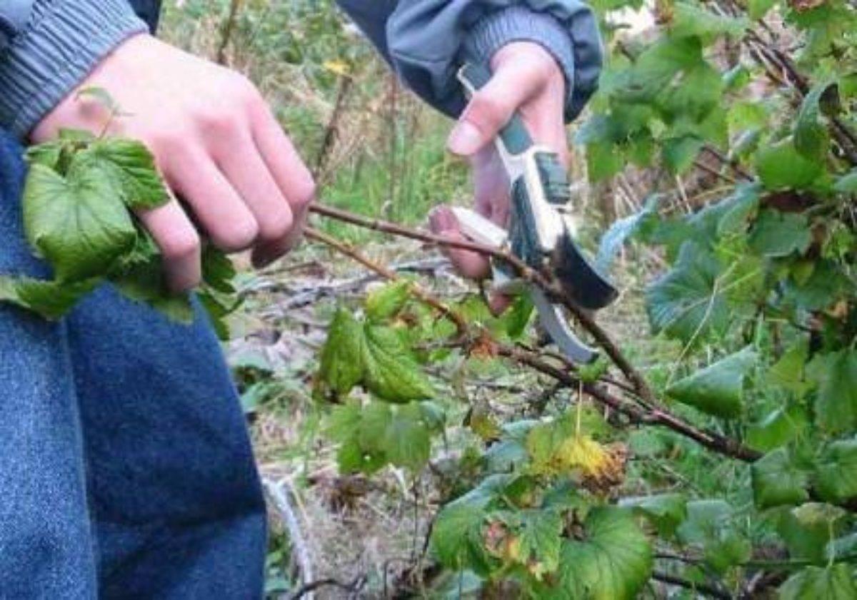 Подробная инструкция и советы садоводов по обрезке смородины осенью.