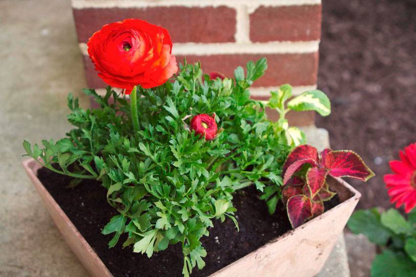 Ранункулюс посадка и уход в домашних условиях | сад и дача