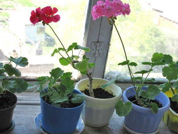 Почему пеларгония не цветет в домашних условиях: по каким причинам долгий период дает только листву, что делать, как заставить обильно зацвести, когда ждать бутоны? русский фермер