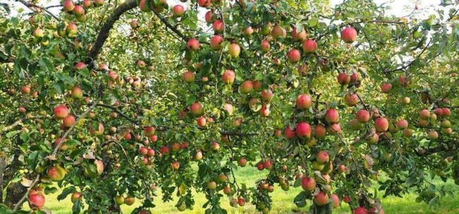 Чем осенью подкормить яблони?