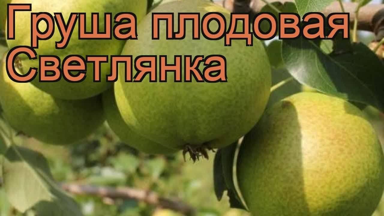 Невозможно представить сад без груши «елена»