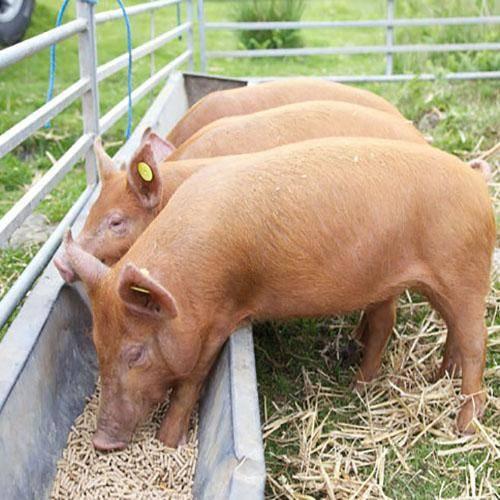 Рацион кормления свиней, есть таблица расчета кормления свиней, чем кормить поросят