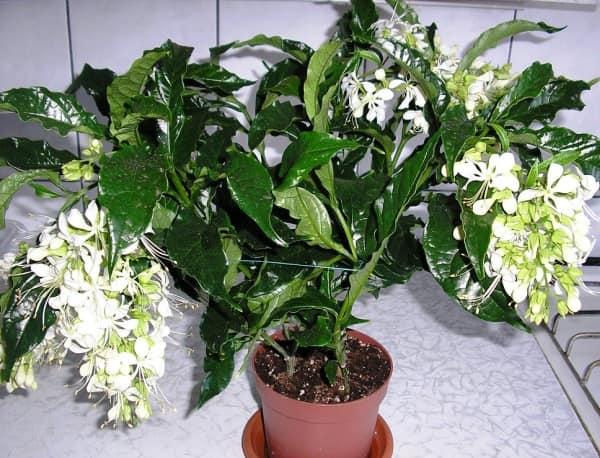 Клеродендрум томсона: уход в домашних условиях, размножение черенками и семенами, фото, и почему не цветет, как заставить набрать бутоны, как формировать куст? русский фермер