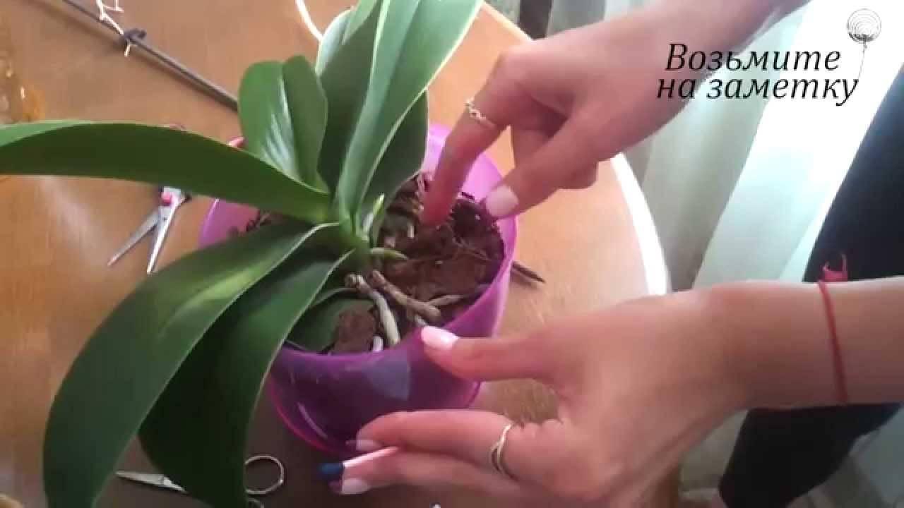Все о цветоносе у фаленопсиса: что это такое и как растет, что делать после того, как бутоны увянут?