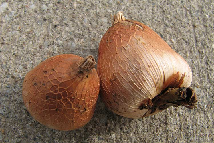 Зимнее хранение луковиц гладиолусов в домашних условиях