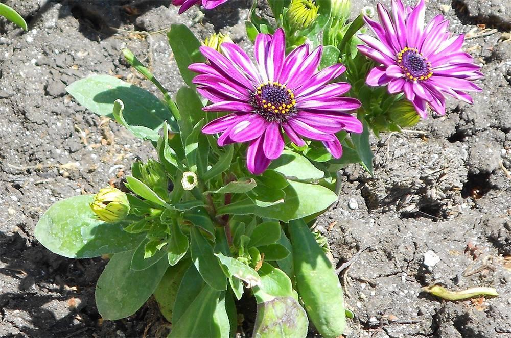 Выращивание остеоспермума из семян - когда сажать и как ухаживать за посадками