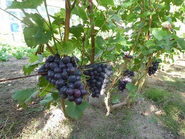 Как поливать виноград летом