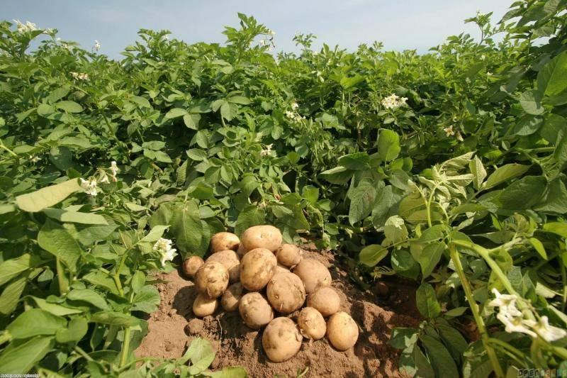 Картофель джелли: описание сорта, вкус и особенности выращивания