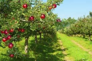 Правильная посадка яблони осенью. многолетний опыт садоводов