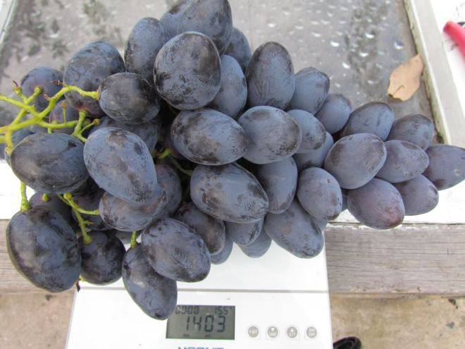 Сорт винограда «фурор»