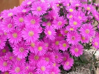 "Цветы ""сентябринки"": размножение, посадка и уход + фото"