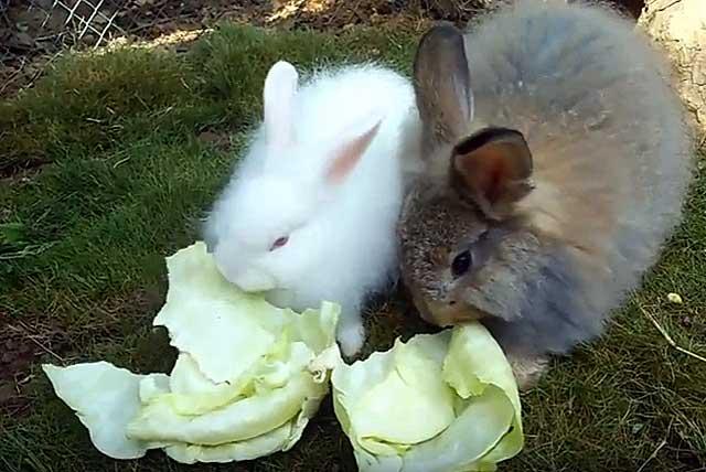 Едят ли домашние кролики капусту