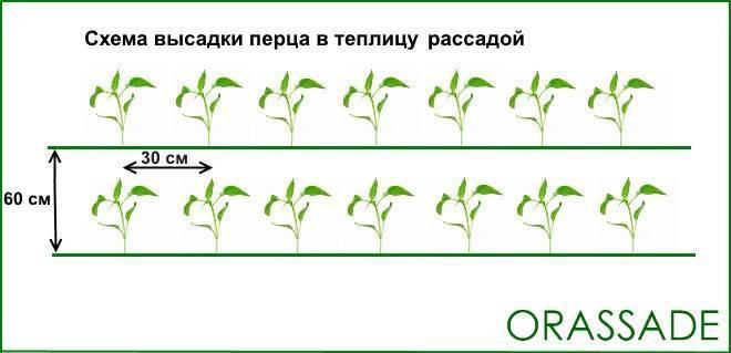 Выращивание перца в теплице: сорта, схема посадки, уход