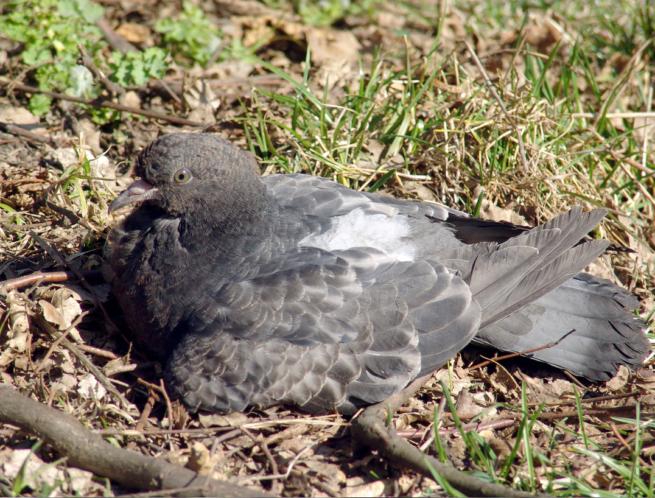 Симптомы вертячки у голубей, лечение болезни ньюкасла и профилактика