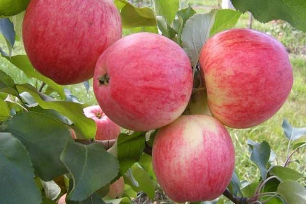 Яблоня аркад: описание и характеристики сорта, разновидности, выращивание и уход