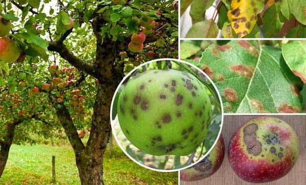 Как победить паршу на яблоне? описание. как бороться, лечение. фото — ботаничка.ru