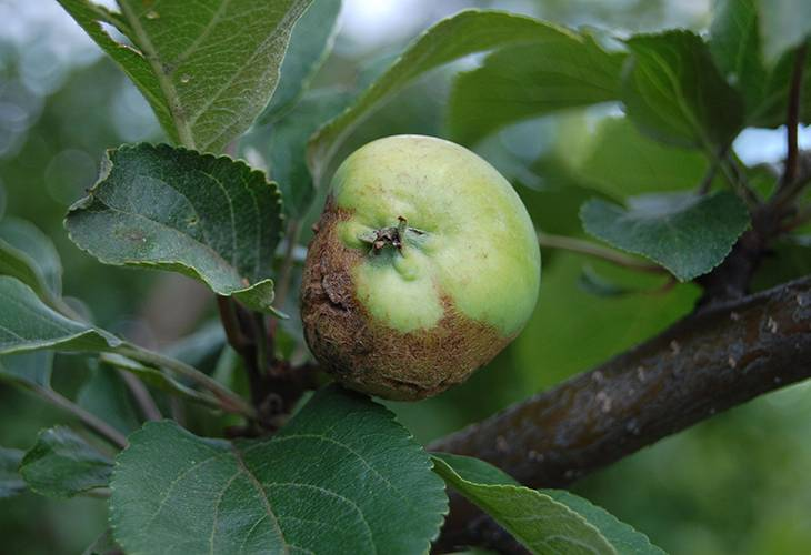 Болезни яблонь с описанием и борьба с ними, видео и фото