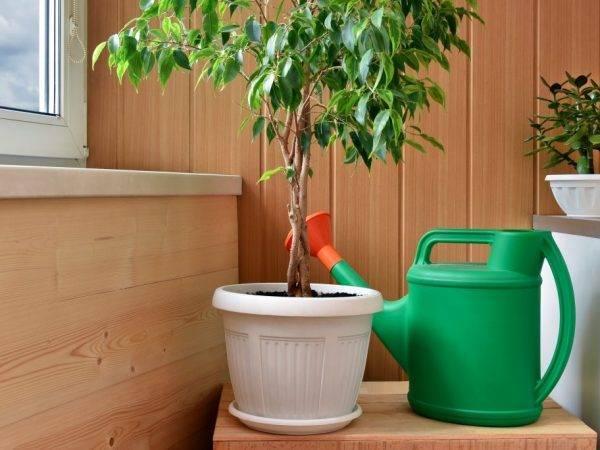 Как поливать фикус для правильного роста