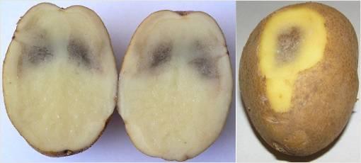 Почему картошка внутри чернеет: что это такое, каковы причины, когда изменение цвета является следствием болезни, а когда - плохим уходом