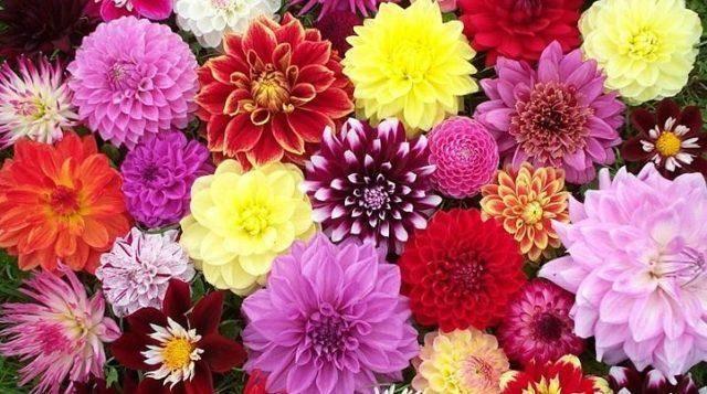 Цветы георгины однолетние - посадка и уход