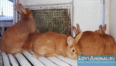 Серебристый кролик: особенности содержания и кормления