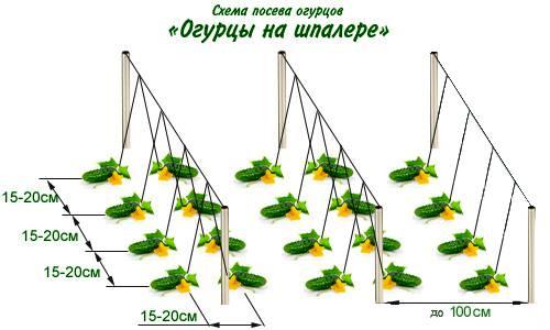 Все правила выращивания огурцов в открытом грунте - огород, сад, балкон - медиаплатформа миртесен