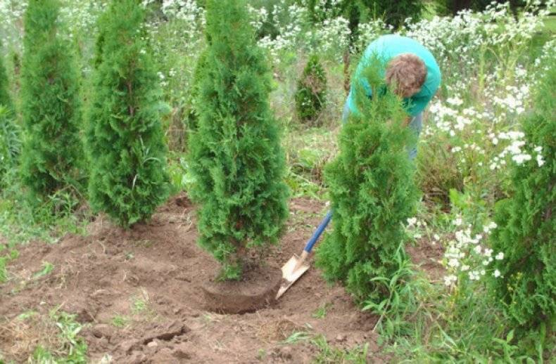 Посадка туи весной и особенности ухода за ней: советы мастеров-садоводов
