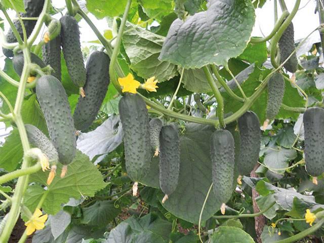Секреты выращивания огурцов по методу портянкина и шамшиной