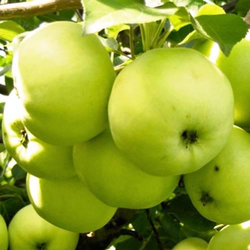 Яблоня антоновка — описание сорта