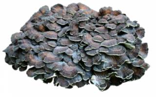 Гриб-баран (грифола курчавая): фото, описание, приготовление и полезные свойства