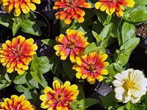 Циния (63 фото): описание цветов и оформление клумбы в саду. однолетние и многолетние сорта. посадка и уход, болезни и вредители