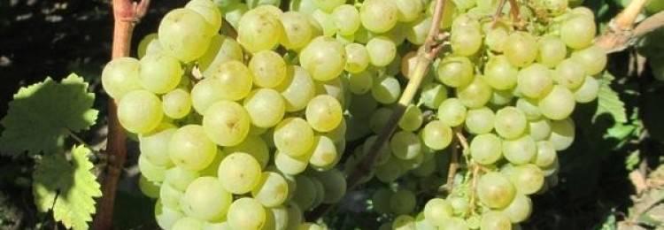 """Подробное описание сорта винограда """"краса никополя"""""""