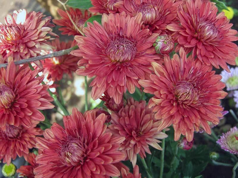 Хризантемы: выращивание в саду иуход