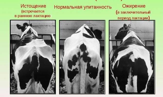 Сколько весит корова: как узнать вес быка или массу теленка без весов, определение по обхвату согласно таблице крс