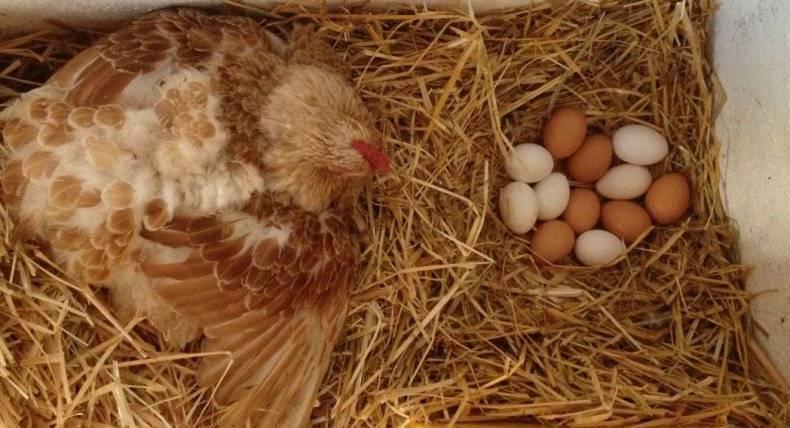 Все тайны курицы-наседки