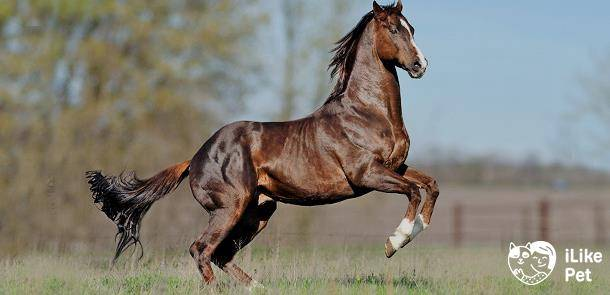 Чистокровные породы лошадей: история и описание