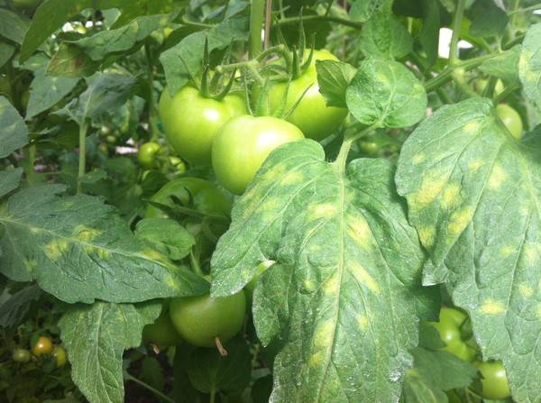 Применение йода в борьбе с фитофторой томатов. как правильно обрабатывать помидоры?