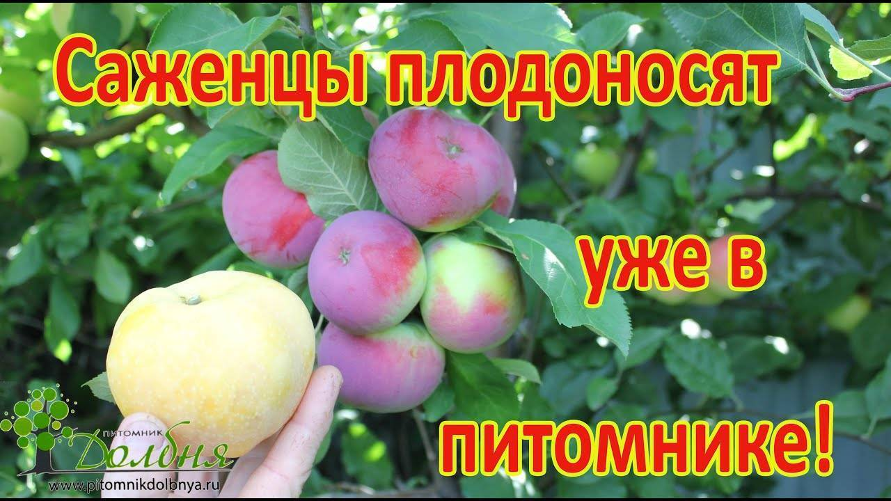 Яблоня краса свердловска: особенности сорта и ухода
