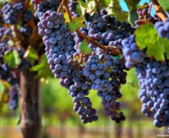 Хранение черенков винограда зимой, самые простые и надежные методы.