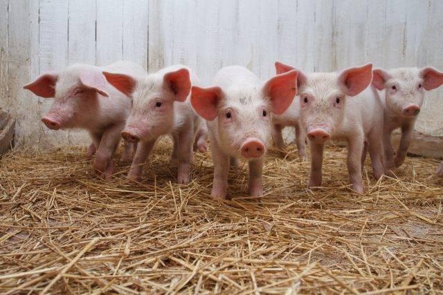 Премиксы для свиней: что выбрать