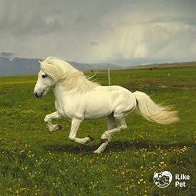 Исландская лошадь: история, характеристика породы, кормление и уход, разведение