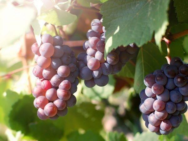 Кинельский виноград — лучшие сорта   polemo.ru - дача, огород и сад.