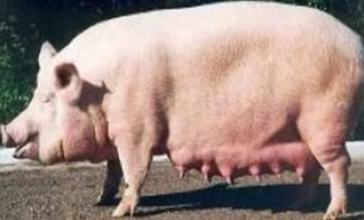 Характеристика и описание крупной белой породы свиней