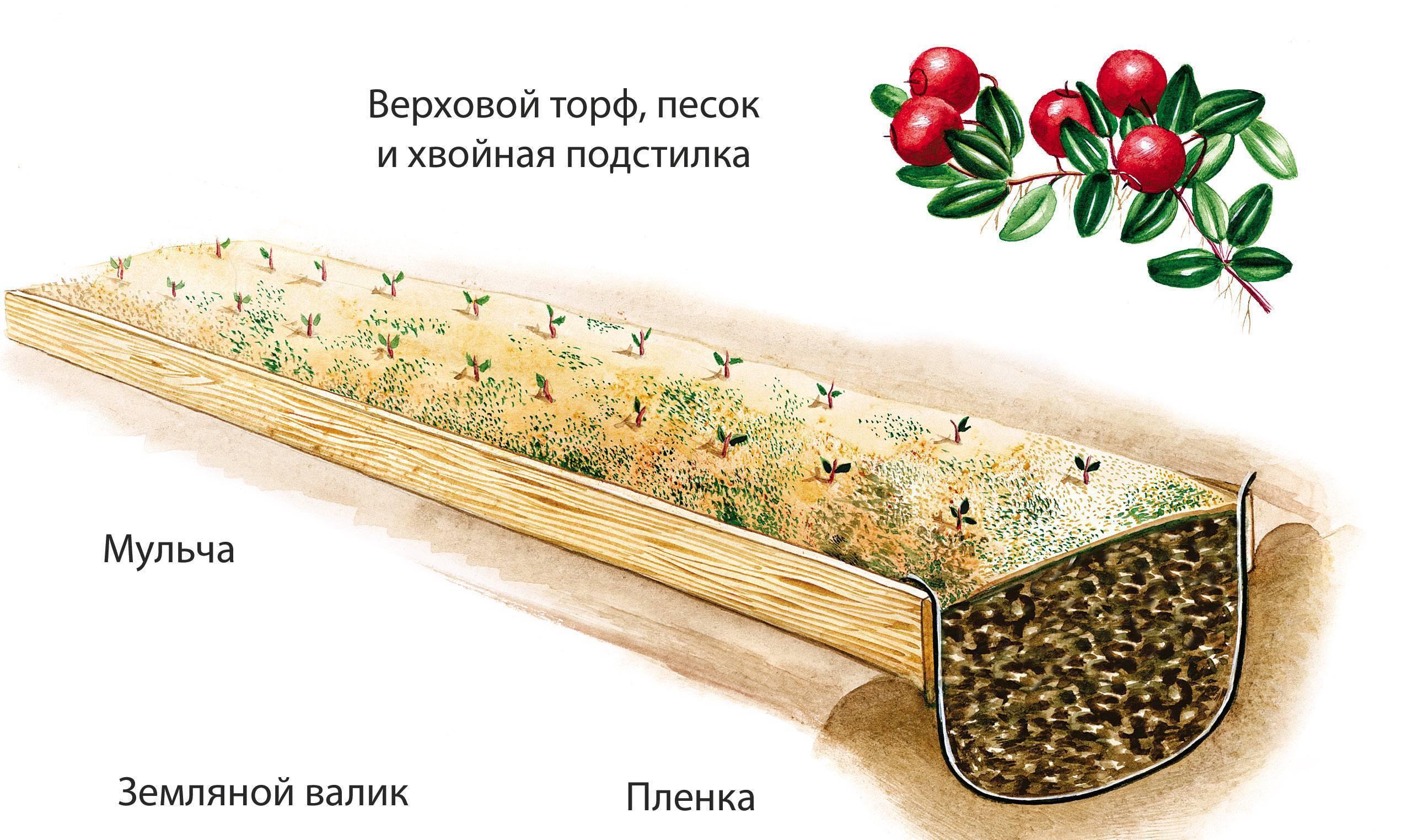 Клюква садовая: выращивание, посадка и уход, фото
