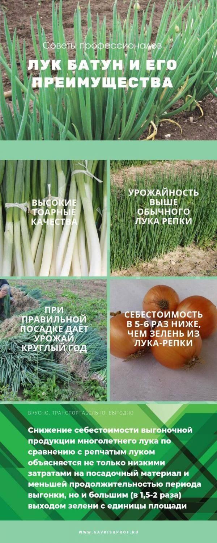 Лук-батун: выращивание из семян, посадка и уход в открытый грунт
