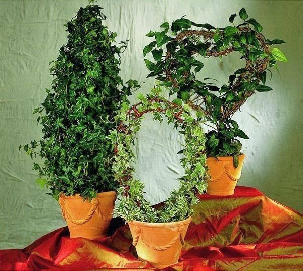Комнатное вьющееся растение плющ: выращивание, размножение, применение, полезные свойства плюща и энергетика растения