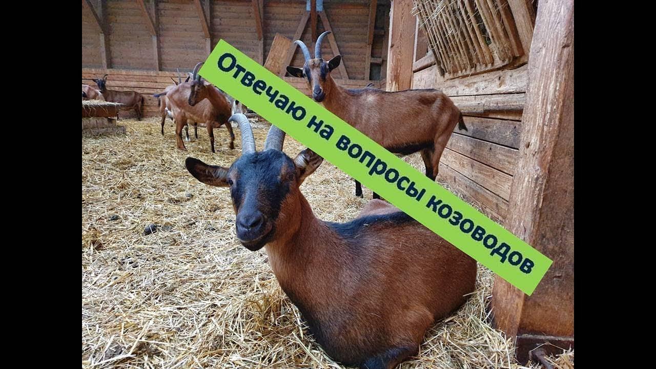 ᐉ признаки окота у козы: первые проявления и особенности поведения - zooon.ru