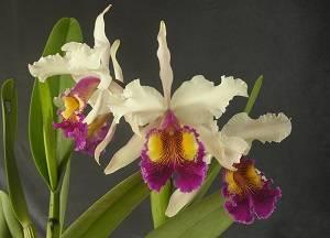 Орхидея каттлея: уход в домашних условиях, пересадка, размножение